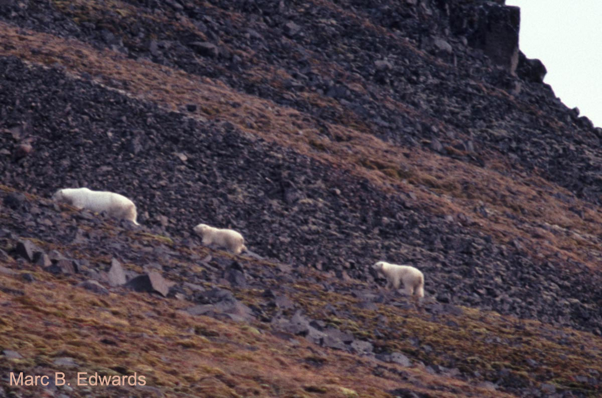 A polar bear family guarding an outcrop on Kong Karls Land, eastern Svalbard.